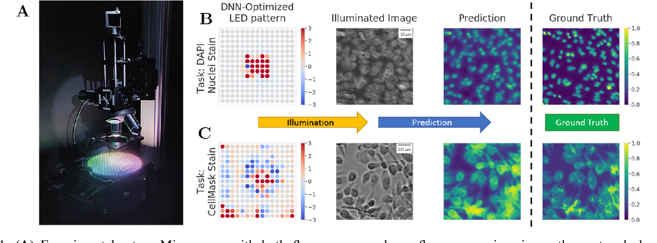 Figure 1 for Physics-enhanced machine learning for virtual fluorescence microscopy