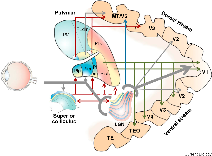 Visual Plasticity: Blindsight Bridges Anatomy and Function in the ...