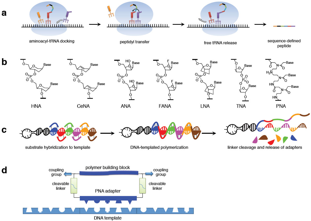 Enzyme-Free Translation of DNA into Sequence-Defined Synthetic ...