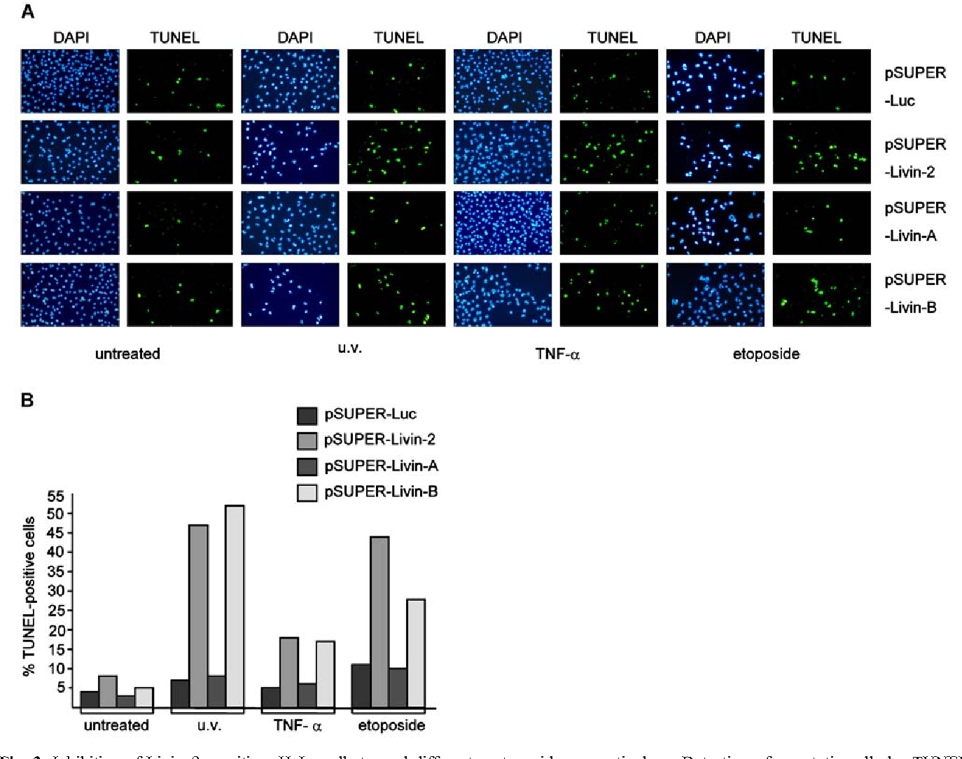 Fig. 3 Inhibition of Livin-β sensitizes HeLa cells toward different proapoptotic stimuli in an isoform-specific manner. Cells were transfected with the indicated pSUPER vectors and were left either untreated or exposed to ultraviolet (uv) irradiation, TNFα, or etoposide, respectively. a Detection of apoptotic cells by TUNEL assay. Cell nuclei were visualized by DAPI staining. b Percentage of TUNEL-positive cells
