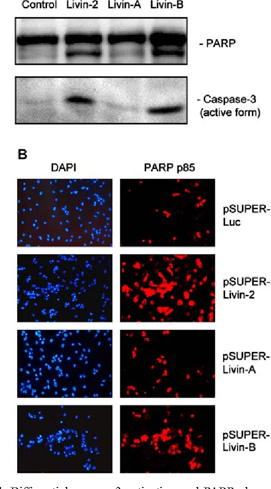 Fig. 4 Differential caspase-3 activation and PARP cleavage upon isoform-specific inhibition of livin expression. a Western blot analysis of UV-irradiated HeLa cells, transfected with synthetic siRNAs, as indicated. b Immune fluorescence analyses of UVirradiated HeLa cells transfected with different pSUPER vectors. Nuclei were stained with DAPI, and cleaved PARP was visualized by an antibody which is specific for PARP p85 fragment
