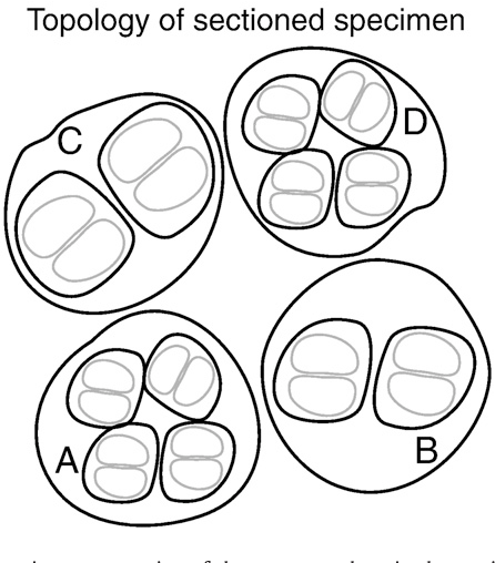 figure 1 from author s personal copy ultrastructure morphology Wi-Fi Sign diagrammatic representation of the spore topology in the sectioned specimen packets