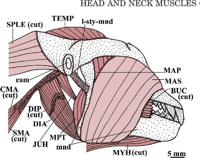 The head and neck muscles of the Philippine colugo (Dermoptera ...