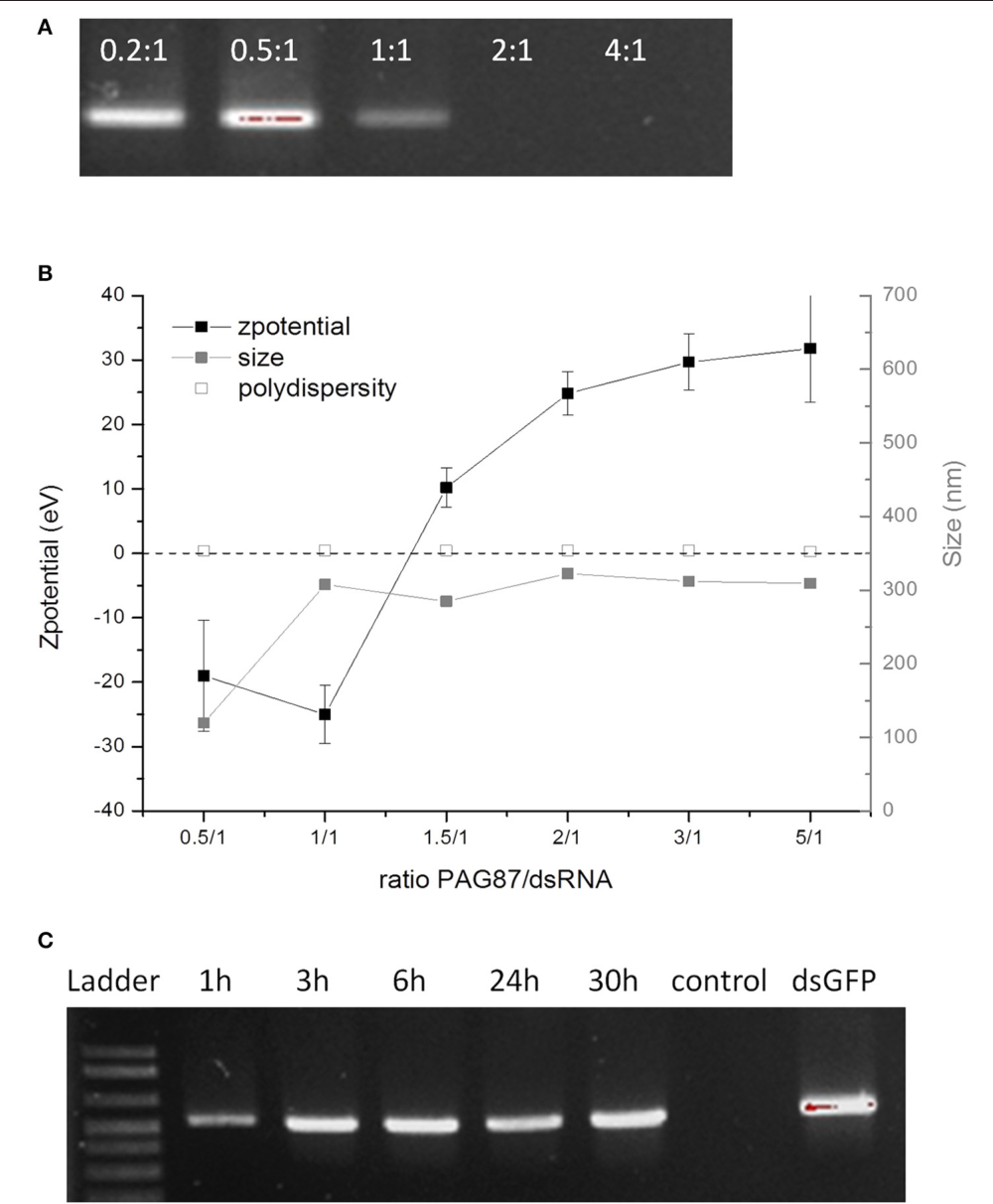 FIGURE 2   Characterization of activity of PAG87L and ability to protect dsRNA against nucleolytic degradation. (A) Complexation of the polymer with the dsRNA at different polymer:dsRNA charge ratios (0.2:1, 0.5:1, 1:1, 2:1, and 4:1) (B) Zeta-potential and size of the polyplex for different polymer:dsRNA charge ratios. (C) DsRNA polyplexes were incubated in collected gut juice for different time periods (1–30 h) to investigate the stability of the dsRNA when complexed with the polymer. The control represents naked dsRNA incubated in the gut juice for 1 h.