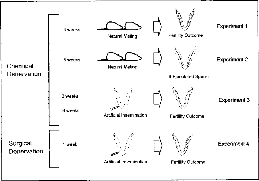 PDF] Fertility of rat epididymal sperm after chemically and ...