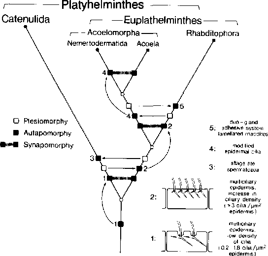 Comments On A Phylogenetic System Of The Platyhelminthes Semantic