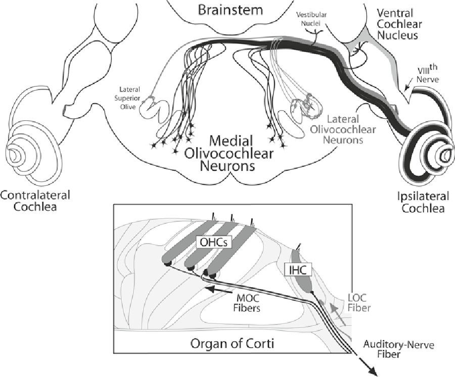 Chapter 2 Anatomy of Olivocochlear Neurons - Semantic Scholar