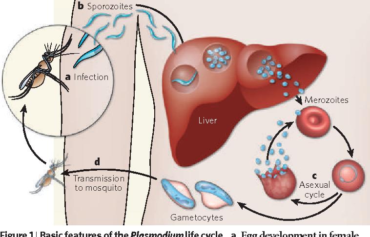Asexual cycle malaria
