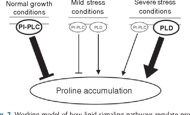 Fig. 7 Working model of how lipid signaling pathways regulate proline accumulation in different growth conditions in Thellungiella salsuginea. PI-PLC, phosphoinositide-specific phospholipase C; PLD, phospholipase D.