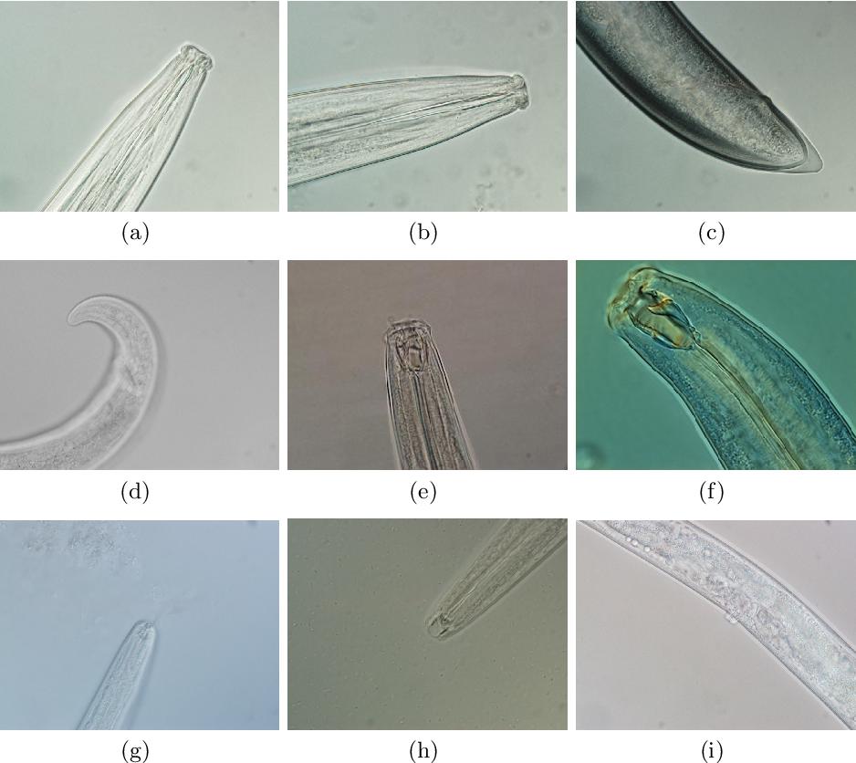 Figure 3 for I-Nema: A Biological Image Dataset for Nematode Recognition