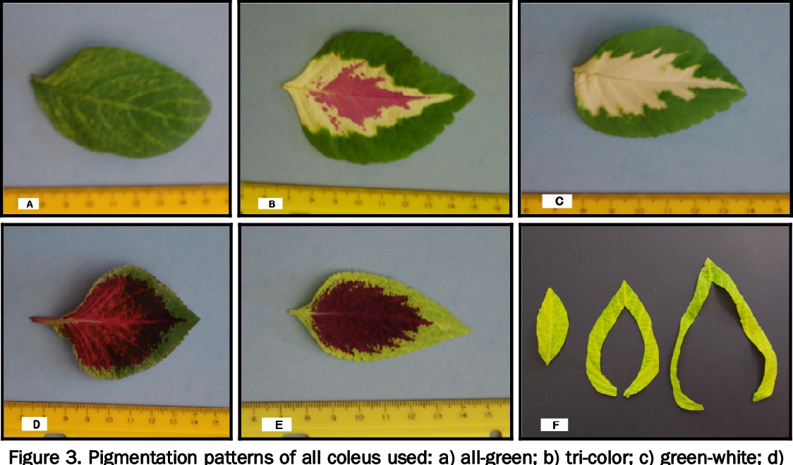 Figure 3. Pigmentation patterns of all coleus used: a) all-green; b) tri-color; c) green-white; d) dark red-green; e) green-red; f) dissection pattern of all-green coleus leaves.