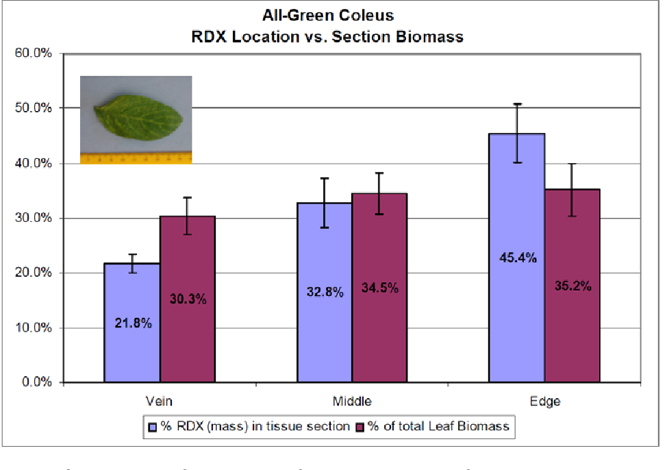 Figure 4. Location of RDX in leaf tissue sections of all-green coleus. RDX concentrated disproportionately in margins of leaves.