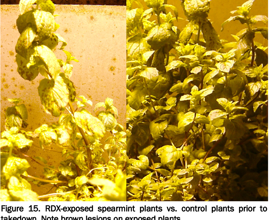 Figure 15. RDX-exposed spearmint plants vs. control plants prior to takedown. Note brown lesions on exposed plants.