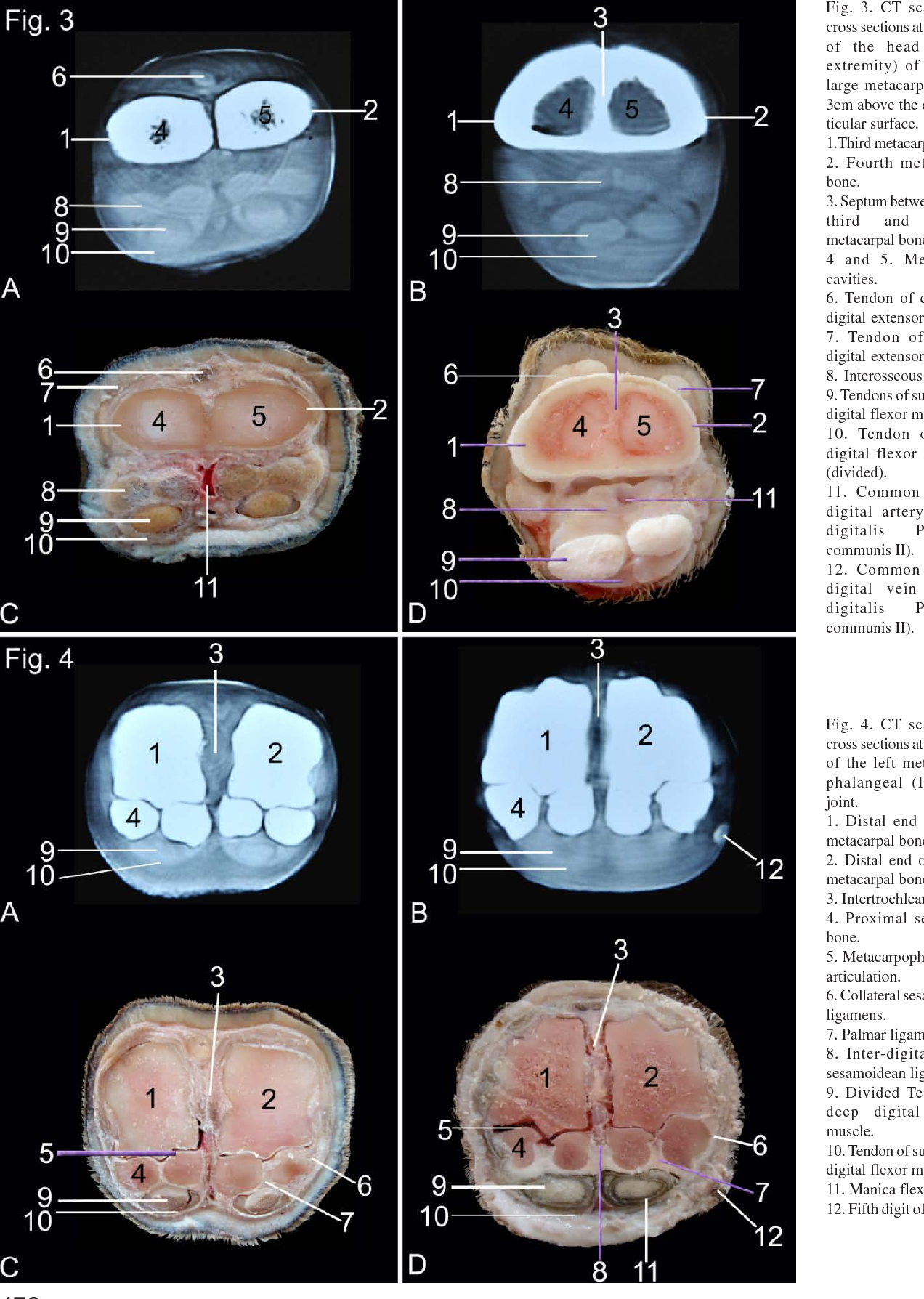 Computed Tomography and Cross Sectional Anatomy of the Metacarpus ...