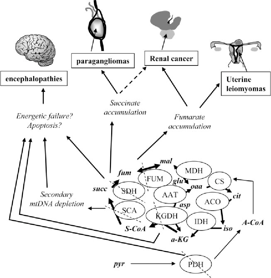 Tricarboxylic Acid Cycle Dysfunction As A Cause Of Human Diseases