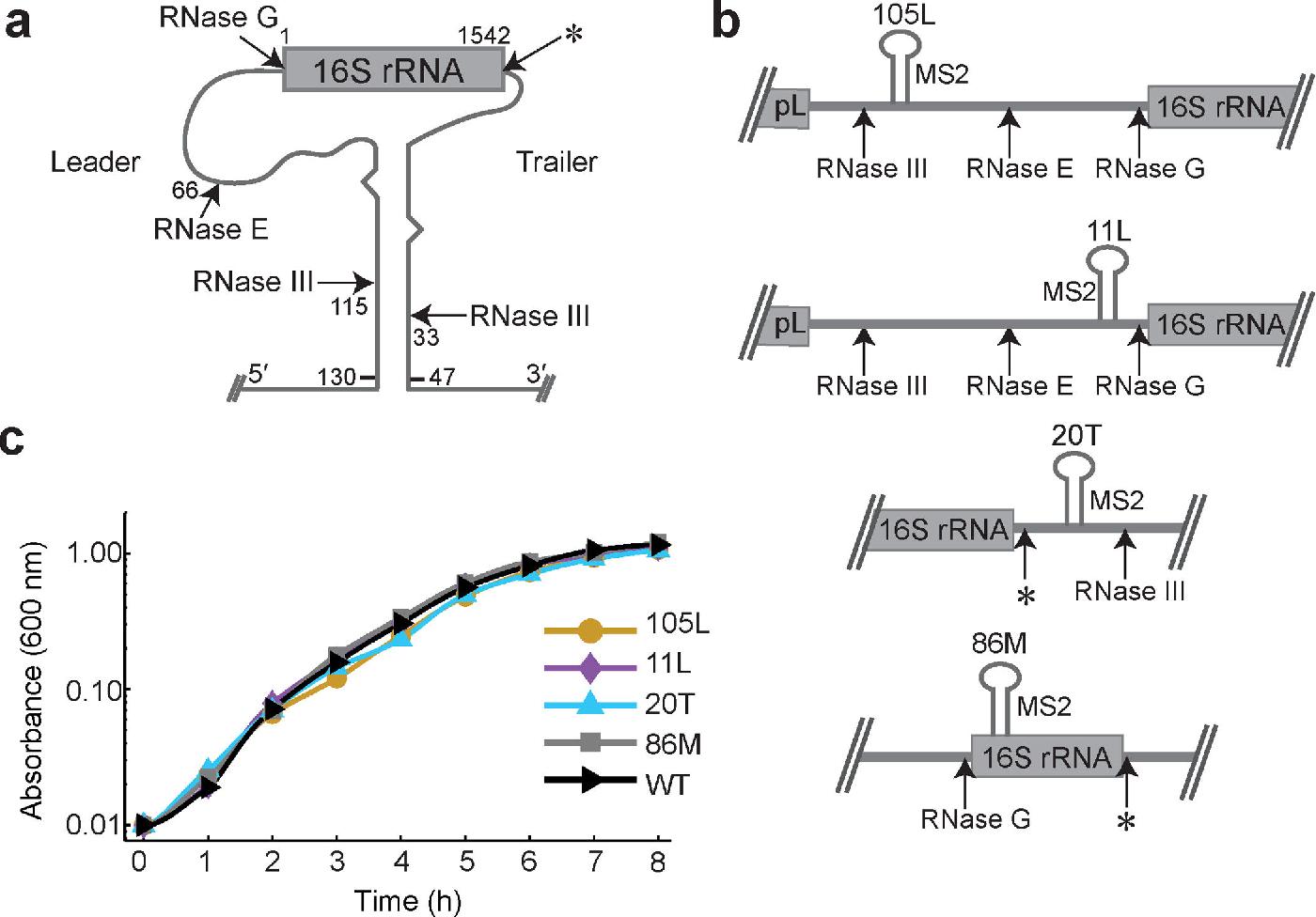 17 Figure1 1 figure 1 from multiple in vivo pathways for e coli small ribosomal