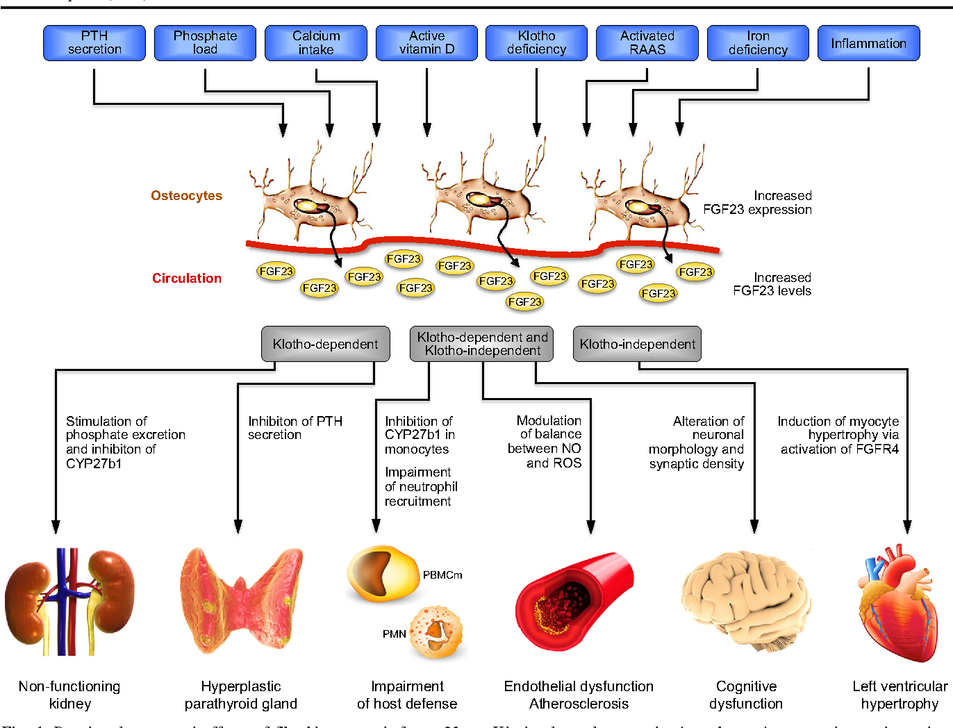 extrarenal effects of fgf23 semantic scholar
