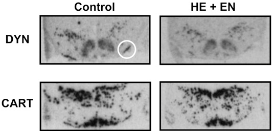 FIGURE 4 DYN and CART gene expression in adjacent sections of hypothalamus from 2 rats fed either C or HE1EN. White circle identifies gene expression in the SOR/cSON.