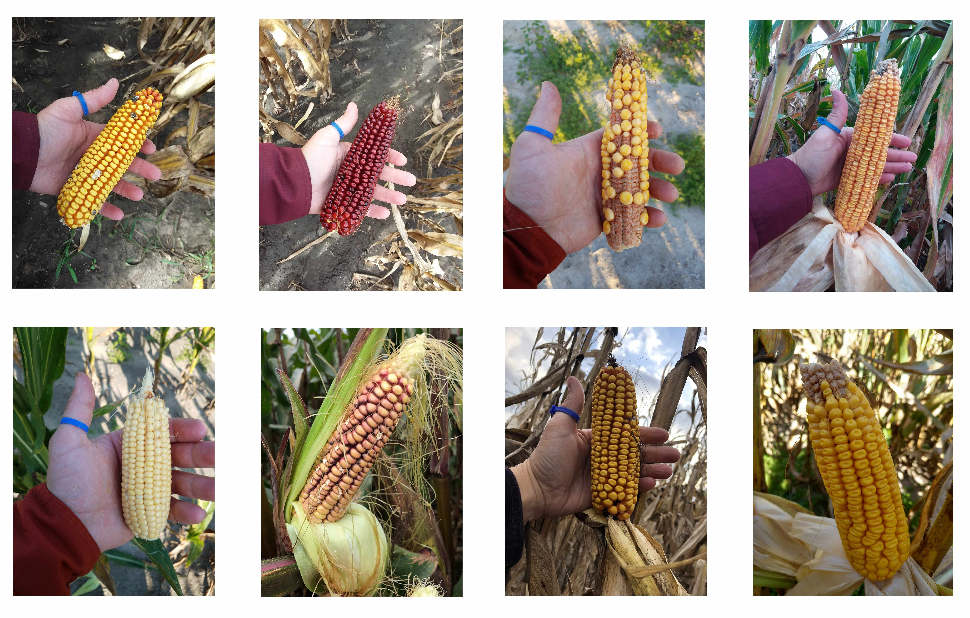 Figure 1 for DeepCorn: A Semi-Supervised Deep Learning Method for High-Throughput Image-Based Corn Kernel Counting and Yield Estimation