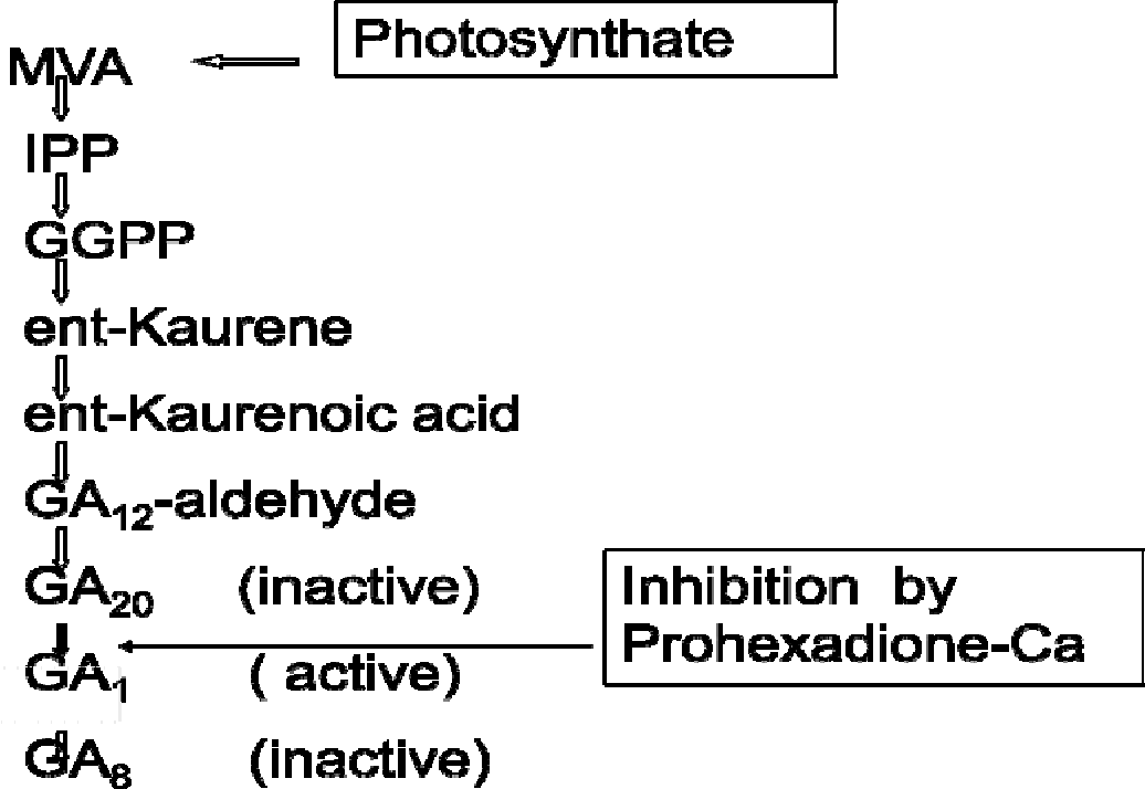 Figure 17 from EFFECT OF PROHEXADIONE-CALCIUM ON SPEARMINT