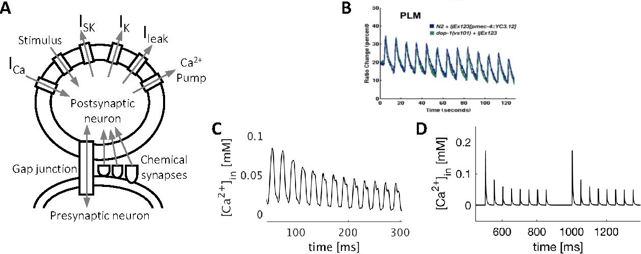 Figure 1 for Non-Associative Learning Representation in the Nervous System of the Nematode Caenorhabditis elegans