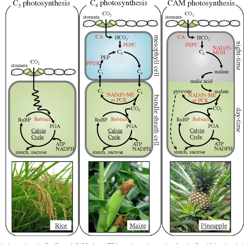 Photosynthesis in c3 plants and their Coursework Academic Service