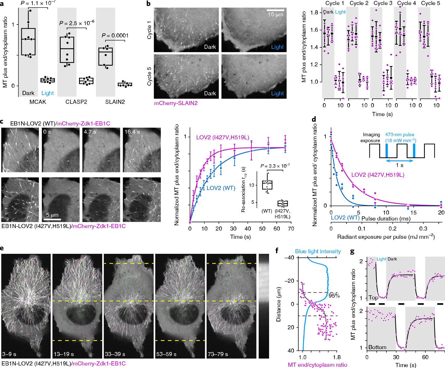Local Control of Intracellular Microtubule Dynamics by EB1 Photo