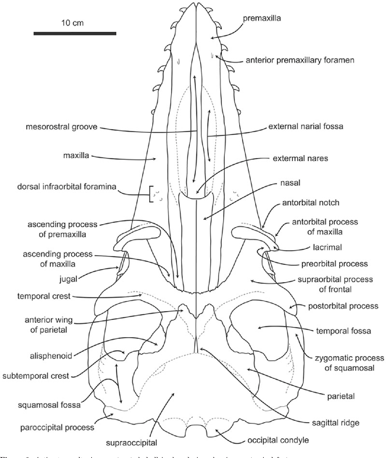 Table 4 from Skull anatomy of the Oligocene toothed mysticete ...