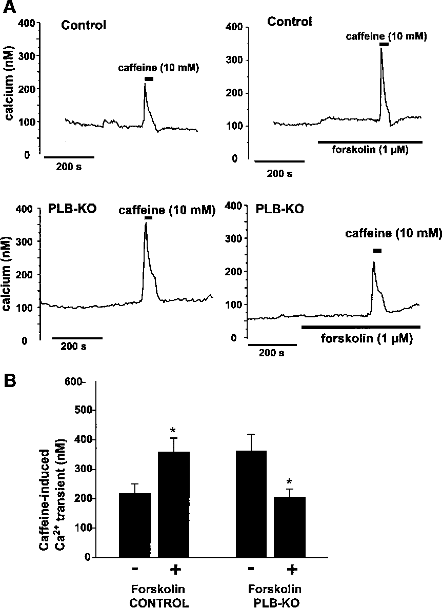Fig. 6. Forskolin and PLB-KO elevate caffeine-induced Ca21 transients. A: caffeine (10 mM)-induced global Ca21 transients were recorded in intact cerebral artery segments from control and PLB-KO mice in the presence and absence of forskolin (10 mM). Solid thick horizontal bars represent the addition of caffeine and/or forskolin to the extracellular solution. B: summary data of caffeine-induced Ca21 transients.