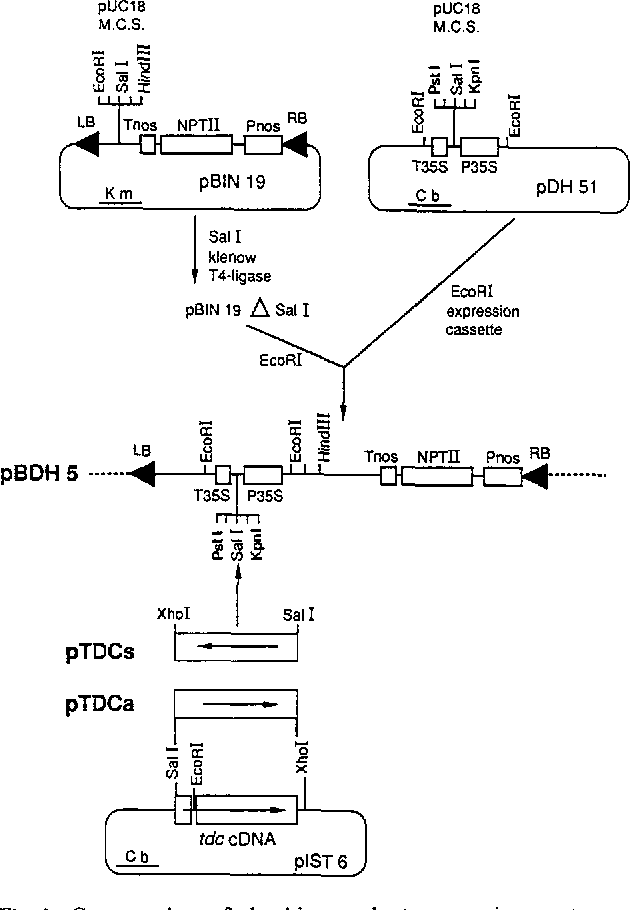 A chimaeric tryptophan decarboxylase gene as a novel selectable figure 1 ccuart Choice Image