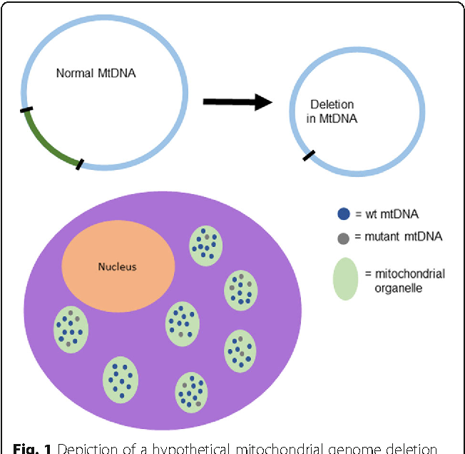 Detection and quantification of mitochondrial dna deletions from figure 1 ccuart Choice Image