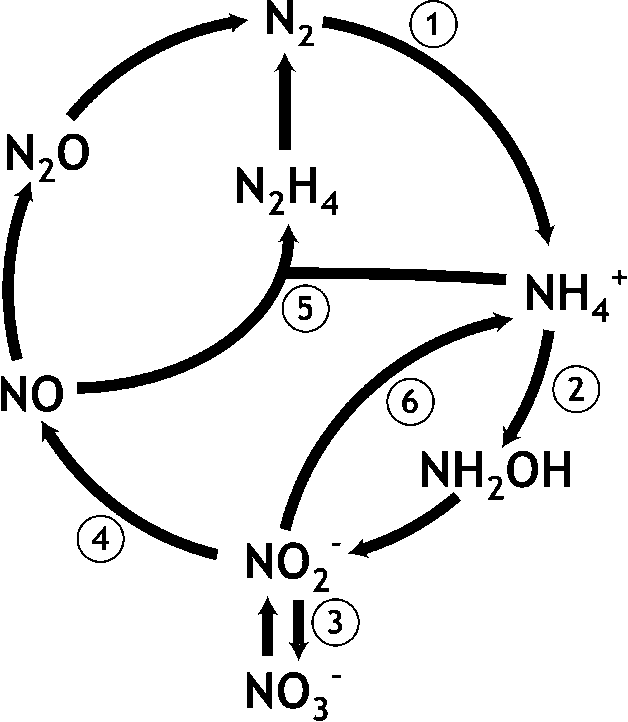 figure 1 from the microbial nitrogen cycle semantic scholar Rock Cycle Diagram reactions of the microbial nitrogen cycle 1 dinitrogen gas