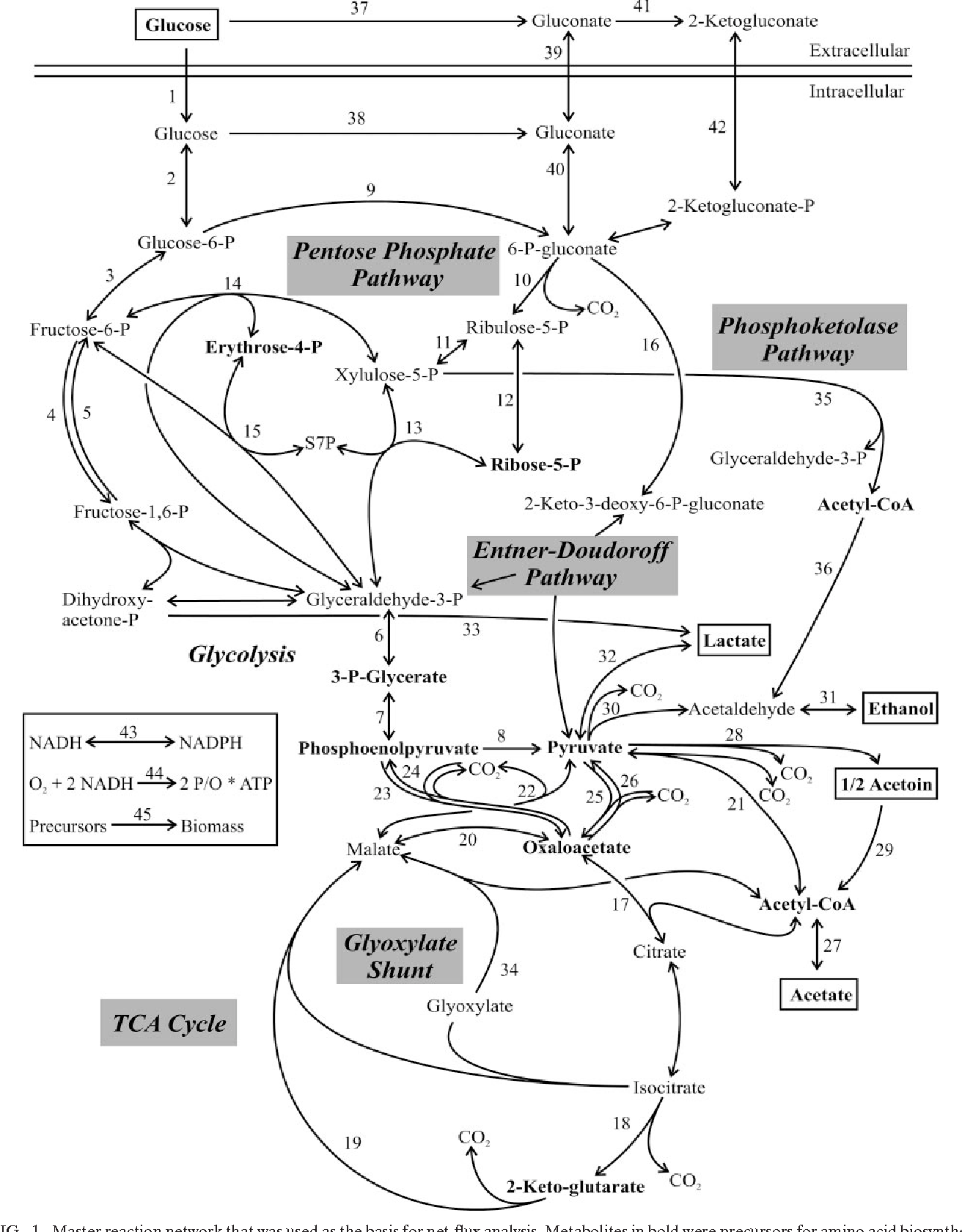 Experimental identification and quantification of glucose metabolism figure 1 ccuart Choice Image