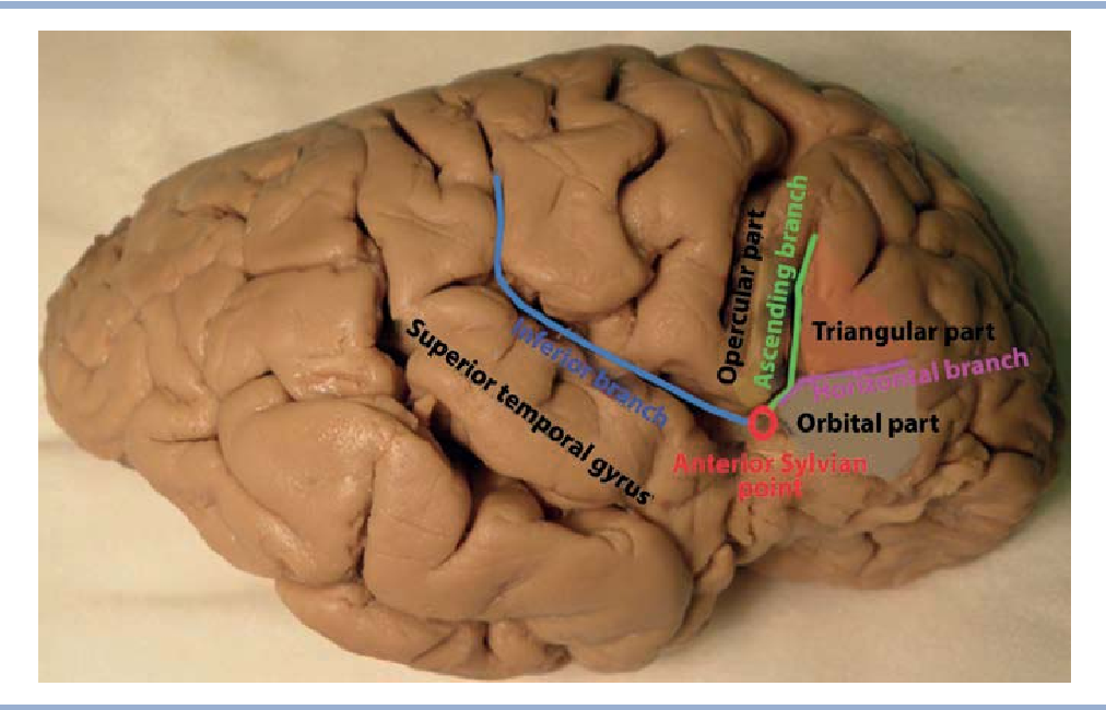 Surgical anatomy of the insular cortex]. - Semantic Scholar