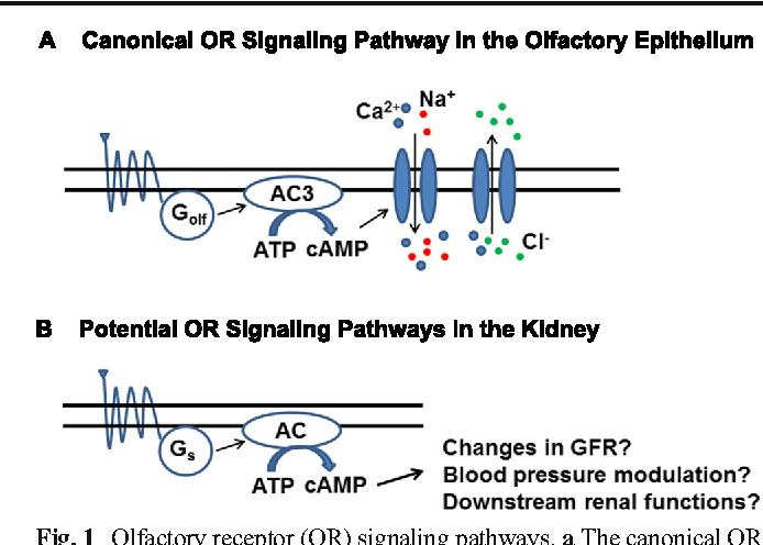 How Does Your Kidney Smell Emerging Roles For Olfactory Receptors