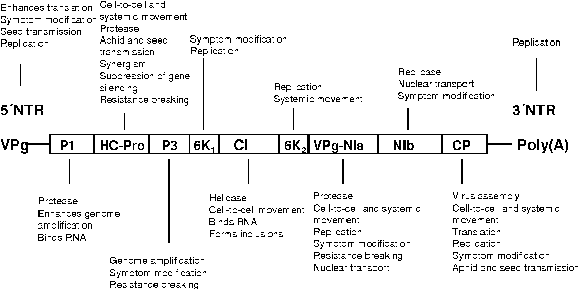 Figure 1 from Resistance to Potato virus Y ( PVY ) in potato cv ...