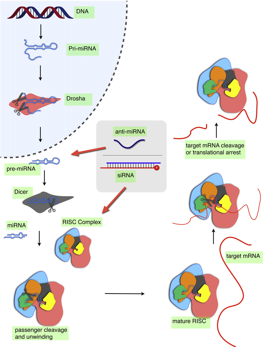 Figure 2. mRNA-Targeting by miRNA and siRNA