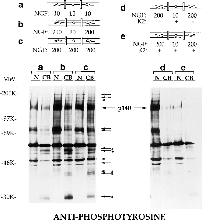Figure 3. Protein tyrosine phosphorylation in response to different distributions of NGF. Compartmented cultures of rat sympathetic neurons were grown for 2 wk in 10 ng/ml NGF in all compartments. Cultures were treated for 10 min with either: (a) 10 ng/ml NGF applied to all compartments; (b, d, and e) 10 ng/ml NGF applied to cell bodies/proximal axons and 200 ng/ml NGF applied to distal neurites; or (c) 200 ng/ml NGF applied to all compartments. In center compartments (d) and in all compartments (e), 500 nM K-252a (K2) was supplied, starting 30 min before the NGF treatments. Cell extracts were collected from the cell body/proximal neurite compartments (CB) and the distal neurite compartments (N). To ensure comparability between treatments, all cultures used were sister cultures, and each group contained the extracts pooled from three cultures. The extracts were analyzed by immunoblotting with anti-phosphotyrosine (4G10) antibody. (Arrows) Tyrosine phosphorylation of proteins produced by distally applied NGF. (Asterisks) Tyrosine-phosphorylated proteins found only in cell bodies/proximal axons. The position of trk migration is indicated. Molecular mass markers are indicated on the left.