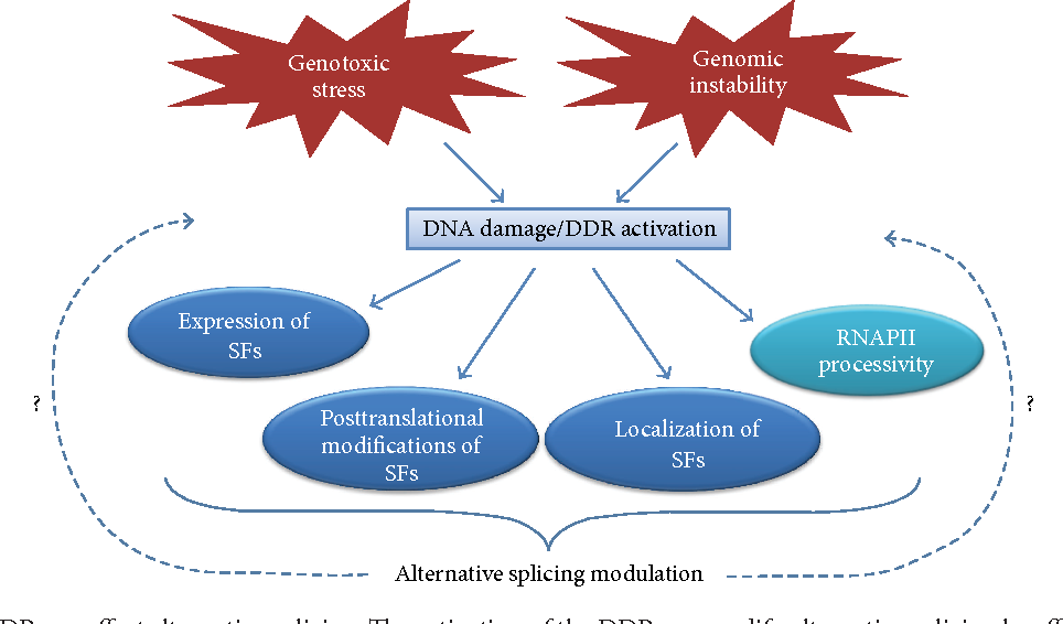 Rna splicing a new player in the dna damage response semantic scholar figure 1 ccuart Images