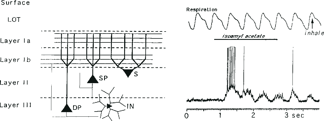 Figure 1 from Receptive fields in the rat piriform cortex ...