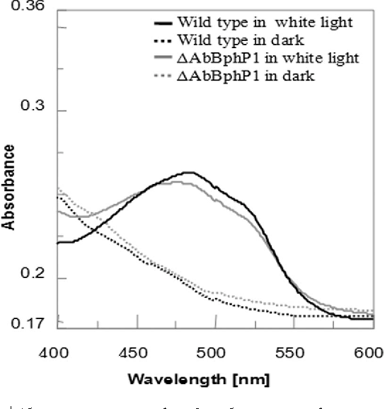 Figure 5 | Absorption spectra of methanolic extracts of carotenoids showing effect of darkness and white light on carotenoid content of A. brasilense Sp7 and DAbBphP1 mutant.