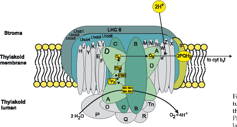 schematic model of structural organization of psii within thylakoid  membrane