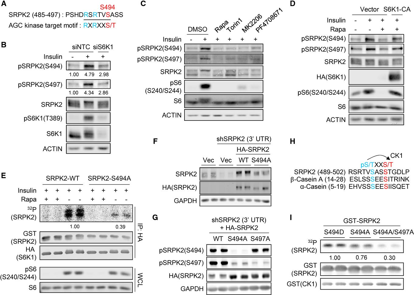Figure 2. SRPK2 Phosphorylation at Ser494 by S6K1 Primes Ser497 Phosphorylation by CK1