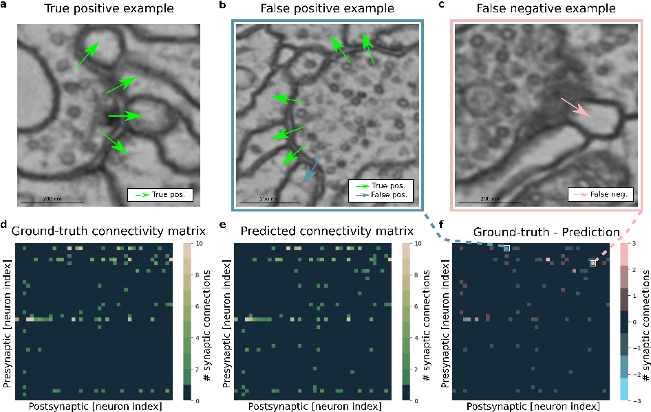 Figure 1 for Synaptic partner prediction from point annotations in insect brains