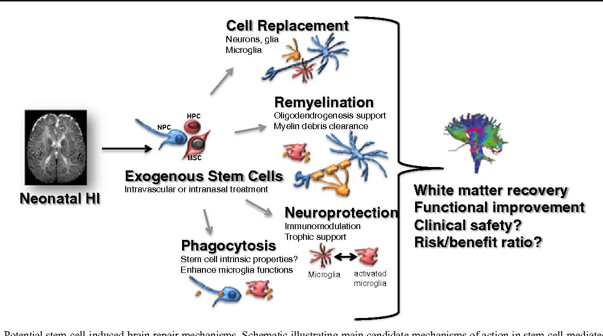 Stem cells for brain repair in neonatal hypoxia–ischemia - Semantic ...