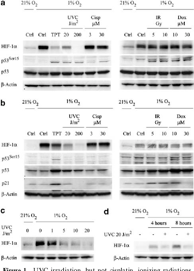 UVC inhibits HIF-1α protein translation by a DNA damage- and