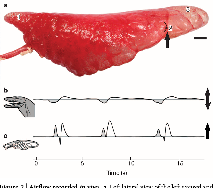 Unidirectional pulmonary airflow patterns in the savannah monitor
