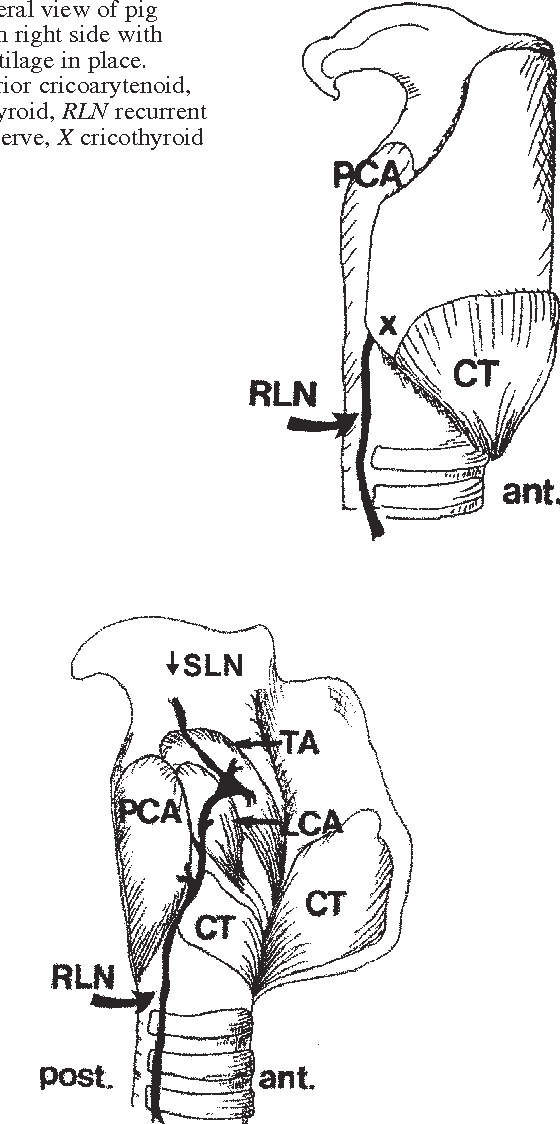 Intrinsic muscles and distribution of the recurrent laryngeal nerve ...