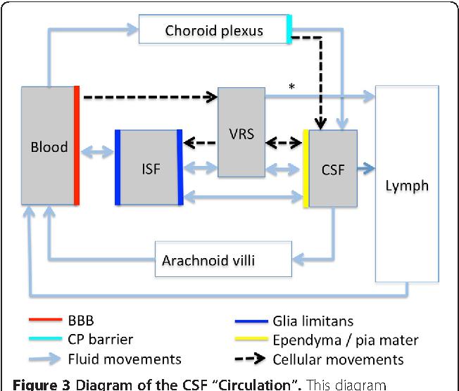 "figure 3 diagram of the csf ""circulation""  this diagram summarizes fluid  and cellular"