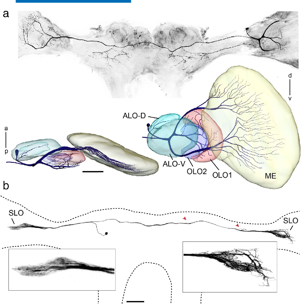 Anatomy of the lobula complex in the brain of the praying mantis ...